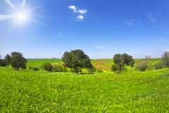 blomstra camomiles field trees Royaltyfri Bild