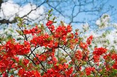 Blomstra chaenomelesen Royaltyfri Bild