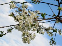 blomstra Cherry Arkivbild