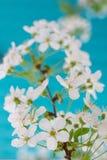 blomstra Cherry Royaltyfri Bild