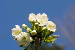 blomstra Cherry Arkivbilder