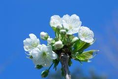 blomstra Cherry Royaltyfri Foto