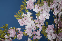 Blomstra Cherry Tree Royaltyfria Bilder