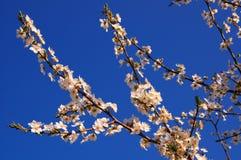 blomstra Cherryet arkivfoton