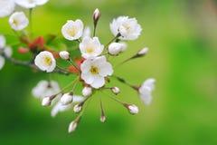 blomstra Cherryet arkivfoto