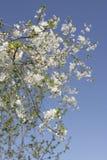 blomstra Cherryet Royaltyfri Foto