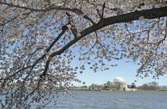 blomstra Cherryet washington Arkivbilder