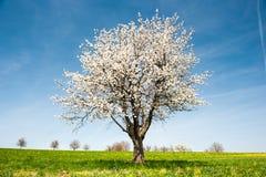 blomstra Cherryfjädertree arkivbild