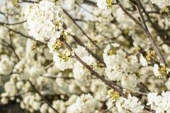 blomstra Cherrytree Arkivbilder
