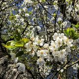 blomstra Cherrytree arkivfoto