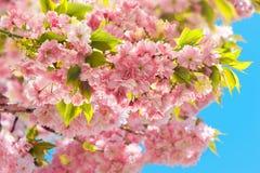 blomstra Cherrytree Vårsakura blommor Arkivfoto