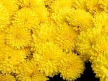 blomstra chrysanthemum royaltyfri foto