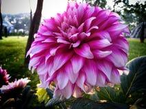 Blomstra Dahlia Flower In en trädgård royaltyfri fotografi