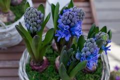 Blomstra den blåa hyacintuppsättningen Arkivfoto