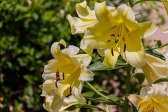 Blomstra den gula liliumblomman Royaltyfri Foto