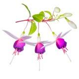Blomstra den härliga fantastiska (collage) färgrika fuchsian blomma Fotografering för Bildbyråer