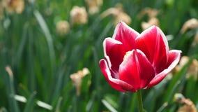 Blomstra den hybrid- blomman Leen Van Der Mark för tulpan i ljus vårvind, 4K lager videofilmer