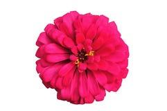 Blomstra den isolerade röda zinniaen Royaltyfri Fotografi