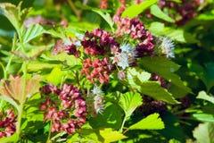 Blomstra den japanska Spiraeablomman i trädgård Fotografering för Bildbyråer