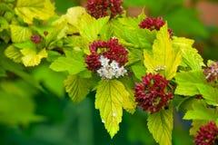 Blomstra den japanska Spiraeablomman i trädgård Royaltyfri Fotografi
