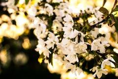 Blomstra den körsbärsröda filialen på en grön bakgrund solig fjäder Arkivbild