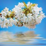 Blomstra den körsbärsröda plommonet Arkivfoton