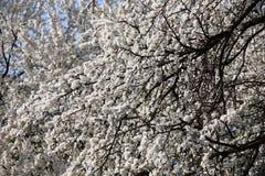 Blomstra den körsbärsröda plommonet Royaltyfri Bild