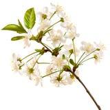 Blomstra den körsbärsröda realistiska filialen 10 eps Royaltyfria Bilder