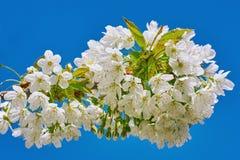 Blomstra den körsbärsröda plommonet Arkivbilder