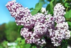 Blomstra den lila filialen royaltyfria foton