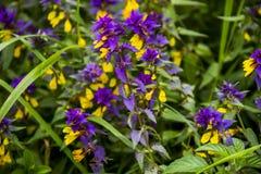 Blomstra den Melampyrum nemorosumen arkivfoton