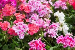 Blomstra den röda och rosa pelargon Arkivbilder