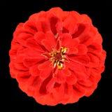 Blomstra den röda Zinniablomman Elegans som isoleras på svart Arkivbilder