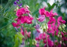 Blomstra den rosa blomman Arkivbild