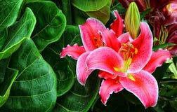 Blomstra den rosa liljablomman och knoppar Royaltyfri Foto