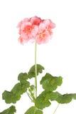 Blomstra den rosa pelargon Arkivbild