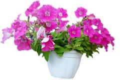Blomstra den rosa pelargon i en kruka på en vit bakgrund Royaltyfri Foto
