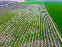 Blomstra den unga plommonträdgården, bästa sikt Spännvidd av surret över den blommande trädgården för plommon Fotografering för Bildbyråer