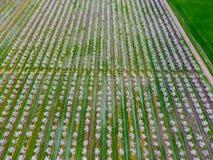Blomstra den unga plommonträdgården, bästa sikt Spännvidd av surret över den blommande trädgården för plommon Arkivbild