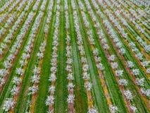 Blomstra den unga plommonträdgården, bästa sikt Spännvidd av surret över den blommande trädgården för plommon Royaltyfri Foto