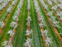 Blomstra den unga plommonträdgården, bästa sikt Spännvidd av surret över den blommande trädgården för plommon Arkivbilder