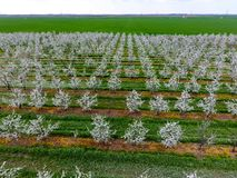 Blomstra den unga plommonträdgården, bästa sikt Spännvidd av surret över den blommande trädgården för plommon Arkivfoto