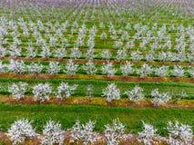Blomstra den unga plommonträdgården, bästa sikt Spännvidd av surret över den blommande trädgården för plommon Royaltyfri Bild