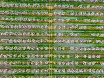 Blomstra den unga plommonträdgården, bästa sikt Spännvidd av surret över den blommande trädgården för plommon Royaltyfria Bilder