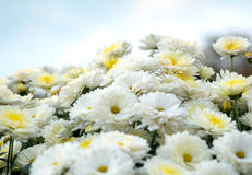 Blomstra den vit-, guling- och rosa färgkamomillen, krysantemum Abstrakt blom- naturlig bakgrund, vårblommor Arkivfoton