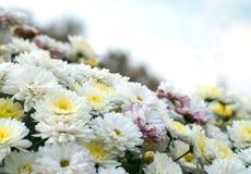 Blomstra den vit-, guling- och rosa färgkamomillen, krysantemum Abstrakt blom- naturlig bakgrund, vårblommor Arkivbilder