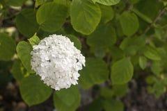Blomstra den vita vanliga hortensian royaltyfria bilder