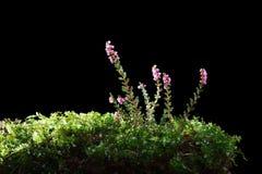 Blomstra den vulgaris ljungcallunaen royaltyfria bilder