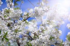 Blomstra det körsbärsröda trädet i soliga strålar blommar white blomma trädgård Royaltyfri Bild