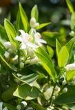 Blomstra det orange trädet Royaltyfria Bilder